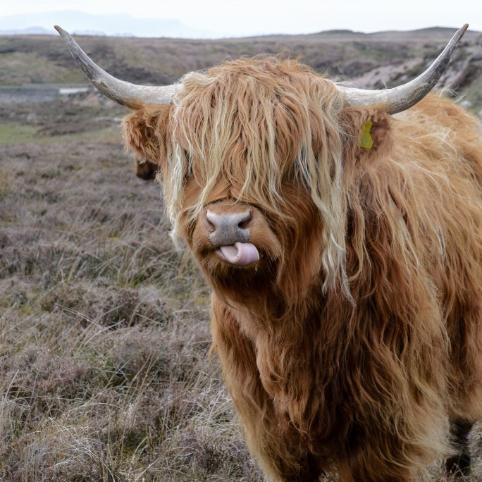 brown-highland-cattle-on-field-of-grass-420233